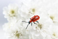 Scarlet lily beetle a on white gypsophila flowers Stock Image