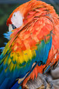 Scarlet Macaw (Ara macao) Royalty Free Stock Photo