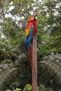 Scarlet macaw ara macao amazon rainforest peru Stock Image
