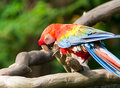 Scarlet macaw ara macao at the jurong bird park in singapore Stock Image