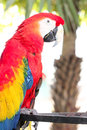 Scarlet macaw Ara macao A Large, Red, Yellow And Blue Parrot B Royalty Free Stock Photo