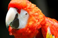 Scarlet macaw the ara macao is a large red yellow and blue south american parrot a member of a large group of neotropical parrots Stock Photo