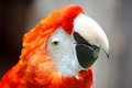 Scarlet macaw the ara macao is a large red yellow and blue south american parrot a member of a large group of neotropical parrots Royalty Free Stock Image