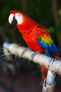 Scarlet macaw the ara macao is a large red yellow and blue south american parrot a member of a large group of neotropical parrots Stock Photos