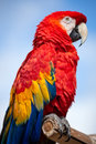 Scarlet macaw beautiful perched on a post Stock Photo