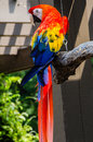 Scarlet macaw bird the ara macao is a large red yellow and blue south american parrot a member of a large group of neotropical Stock Images