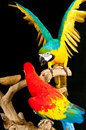 Scarlet macaw and a blue-gold macaw parrots Royalty Free Stock Photo