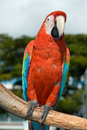 Scarlet macaw close up of a ara macao perching on a tree branch miami miami dade county florida usa Stock Photos