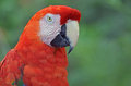 Scarlet macaw close up portrait of a against an out of focus background of green foliage Royalty Free Stock Photo