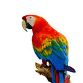 Scarlet macaw colorful aviary sitting on the log isolated on a white background Royalty Free Stock Image
