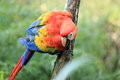 Scarlet macaw the detail of on the trunk Royalty Free Stock Images