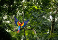 Scarlet Macaw Flying - Copan, Honduras Royalty Free Stock Photo