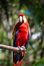 Scarlet macaw a in honduras Stock Photos