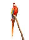 Scarlet Macaw Isolated On White
