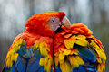 Scarlet Macaw Love Birds Royalty Free Stock Photo