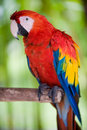 Scarlet macaw medium shot Stock Photo