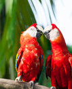 Scarlet macaw a pair of macaws ara macao at the jurong bird park in singapore Royalty Free Stock Image