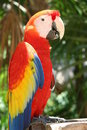 Scarlet Macaw Parrot Stock Photography