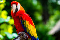 Scarlet macaw parrot bird the ara macao is a large red yellow and blue south american a member of a large group of neotropical Royalty Free Stock Image