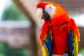 Scarlet macaw parrot bird the ara macao is a large red yellow and blue south american a member of a large group of neotropical Royalty Free Stock Photography