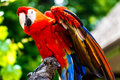 Scarlet macaw parrot bird the ara macao is a large red yellow and blue south american a member of a large group of neotropical Royalty Free Stock Photo