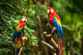 Scarlet macaw parrots portrait of colorful Stock Image