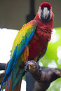 Scarlet macaw on perch a beautiful a Stock Image