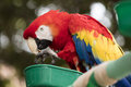 Scarlet Macaw perched at a local plaza Royalty Free Stock Photo