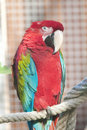 Scarlet Macaw Portrait Stock Photography