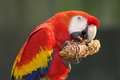 Scarlet macaw portrait of a Royalty Free Stock Photo