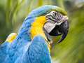Scarlet macaw a rainforest avian Royalty Free Stock Image