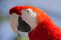 Scarlet macaw south america tropical bird pet closeup portrait of a from which is a colorful also found in central Royalty Free Stock Photo