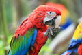 Scarlet macaw the upper body of Stock Images