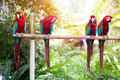 Scarlet macaws perched on a wooden post enjoying the warmth of the evening sun beautiful Stock Photos
