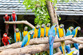 Scarlet macaws on the tree Stock Photography