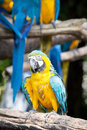 Scarlet macaws on the tree Stock Image