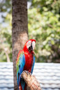 Scarlet macaws on the tree Stock Photo