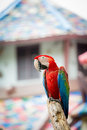 Scarlet macaws on the tree Royalty Free Stock Photo
