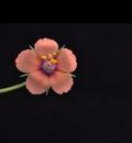 Scarlet pimpernel,