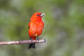 "Scarlet plumage one can almost hear this tanager chirp ""look at me"" sure to catch anyone's attention this elusive songbird Royalty Free Stock Photos"