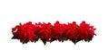Scarlet poinsettia flower or christmas star Royalty Free Stock Photo
