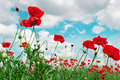 Scarlet poppies and cloudy sky on a background of the Stock Photo