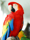 Scarlet Red Macaw Bird Stock Photos