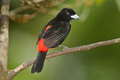 Scarlet Rumped Tanager Stock Photo