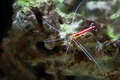 Scarlet skunk cleaner shrimp lysmata amboinensis Stock Photography