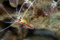 Scarlet skunk cleaner shrimp lysmata amboinensis Royalty Free Stock Photo