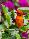 A scarlet tanager in bush with magenta colored flowers at panamonte inn boquete chirique panama Royalty Free Stock Images