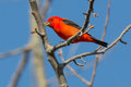 Scarlet tanager perched on a branch Royalty Free Stock Photography