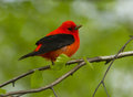 Scarlet tanager piranga olivacea a beautiful red and black migratory songbird perching on branch in springtime ontario canada Stock Photos