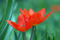 Scarlet tulips two in grass Stock Images